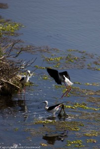 blackwingedstilts