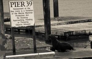 Sea Lion PIER 39_1