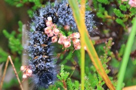 Video: WOW A Hungry Caterpillar In the Scottish Highlands Near Gairloch
