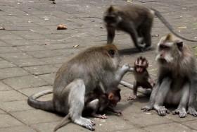 Video: Cute Kissing Monkey in Bali in Indonesia