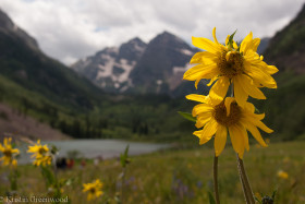 Photo Of The Week – Sunflowers at Maroon Bells in Colorado Near Aspen