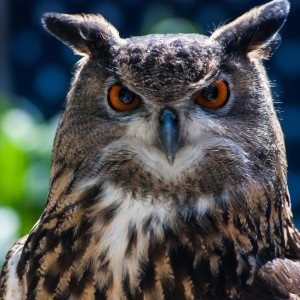 Owl at Utah's Hogle Zoo