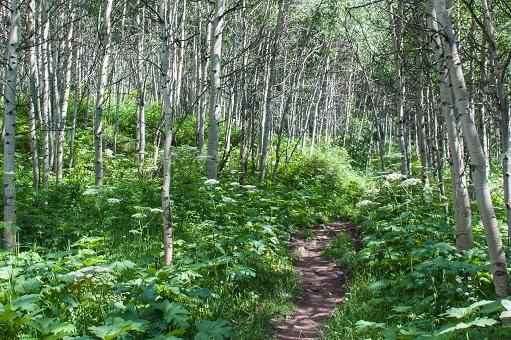 Trees along Maroon Creek Trail