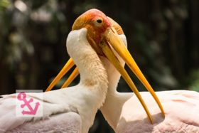 Photo Of The Week – Yellow Billed Storks at KL Bird Park