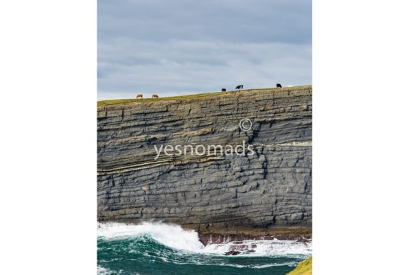 Photo Of The Week – Irish cows on the edge of a cliff in Kilkee